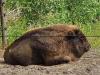 Wildpark-Schorfheide-Bison