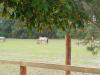 Wildpark-Schorfheide-Konik-Pferde