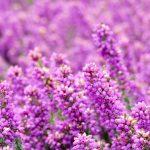 Heidewitzka! UMIWO durchs lila Blütenmeer in der Lüneburger Heide